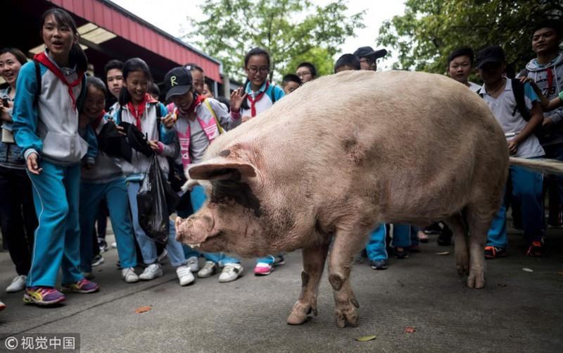 Trung Quốc nhân bản vô tính lợn rừng Ảnh 2
