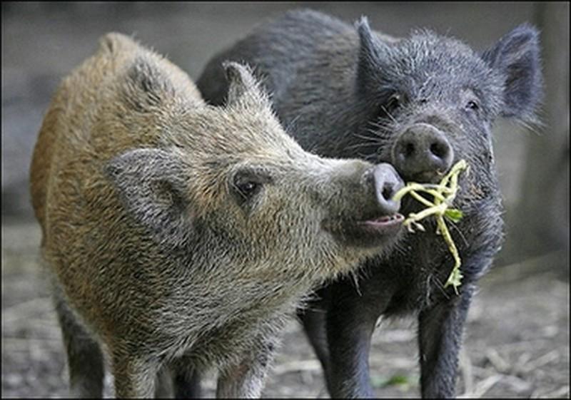 Trung Quốc nhân bản vô tính lợn rừng Ảnh 1
