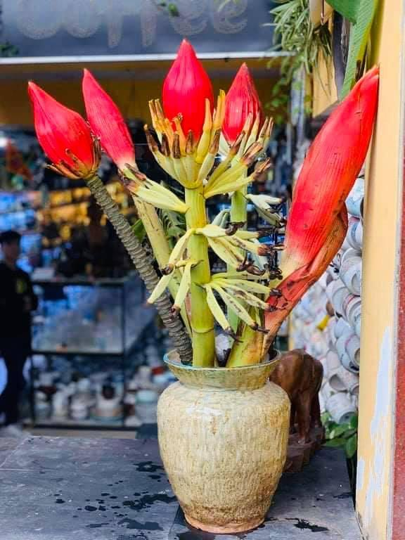 Dân công sở rủ nhau mua hoa chuối rừng về chơi Tết Ảnh 3