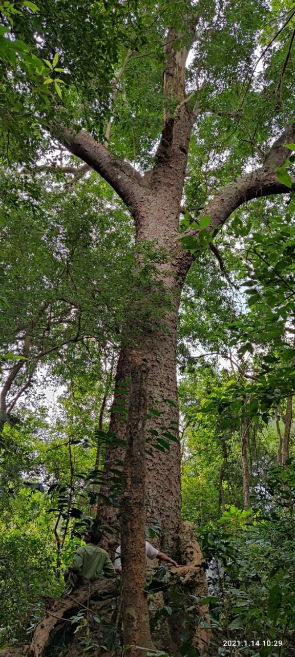 Chiêm ngưỡng hàng ngàn cây Lim xanh ở rừng Sông Móng – Capét Ảnh 4