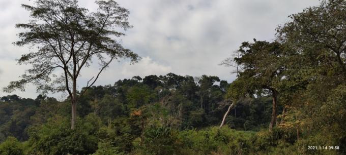 Chiêm ngưỡng hàng ngàn cây Lim xanh ở rừng Sông Móng – Capét Ảnh 1