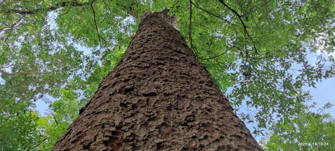 Chiêm ngưỡng hàng ngàn cây Lim xanh ở rừng Sông Móng – Capét Ảnh 3