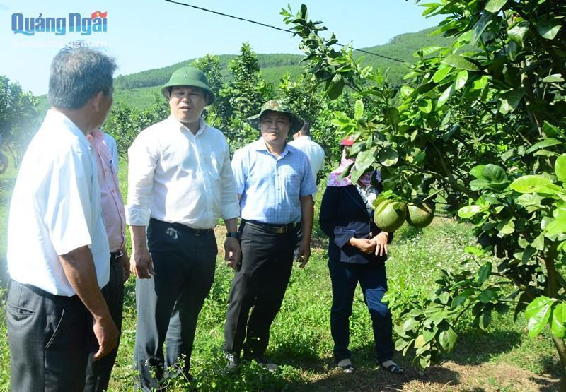 Kiểm tra khôi phục sản xuất vùng trồng cây ăn quả huyện Nghĩa Hành Ảnh 1