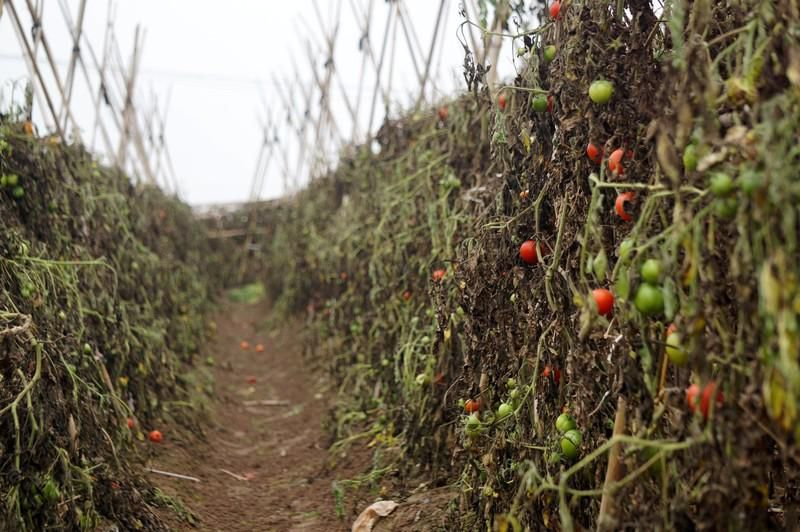 Cà chua chín rụng đỏ gốc, dân chẳng buồn thu hoạch Ảnh 4