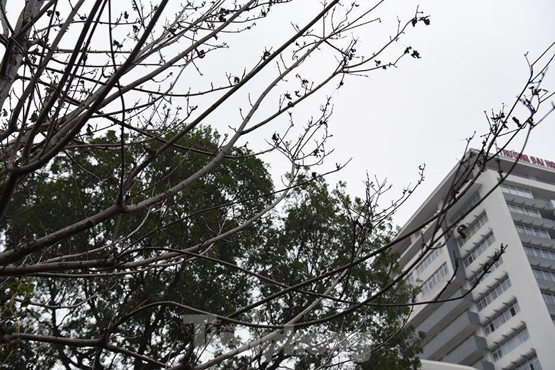Cận cảnh hàng phong lá đỏ khô héo sắp bị thay thế ở Hà Nội Ảnh 7