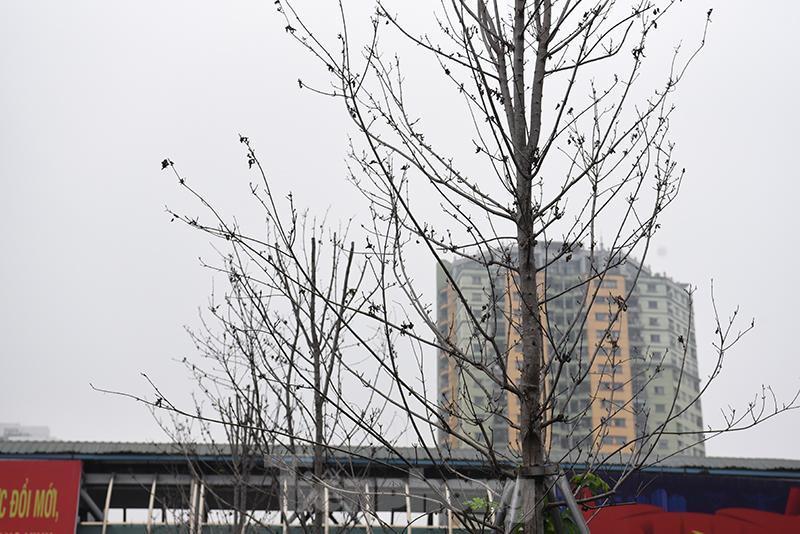 Cận cảnh hàng phong lá đỏ khô héo sắp bị thay thế ở Hà Nội Ảnh 9