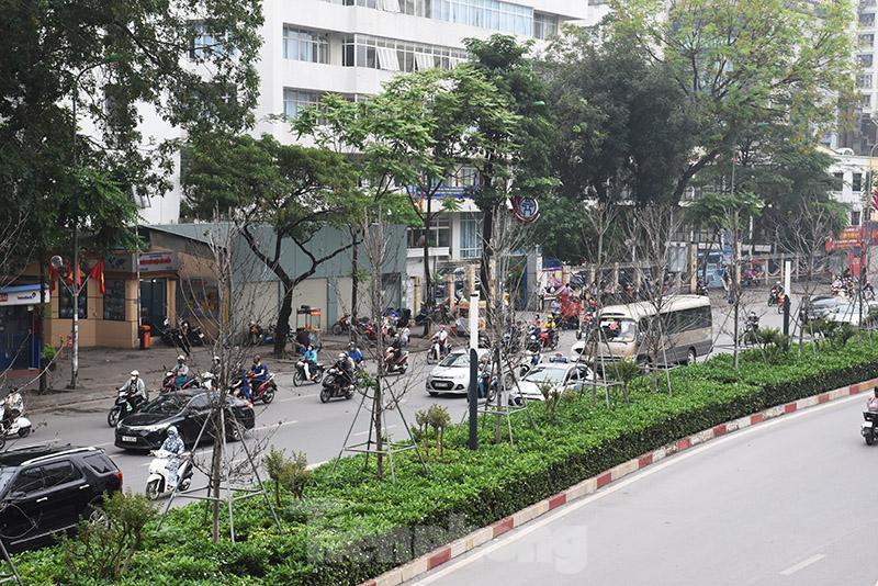 Cận cảnh hàng phong lá đỏ khô héo sắp bị thay thế ở Hà Nội Ảnh 1