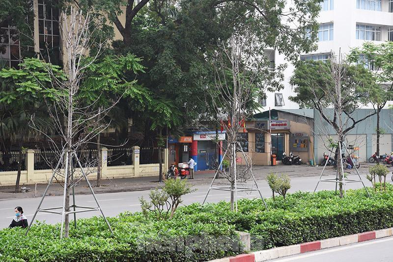 Cận cảnh hàng phong lá đỏ khô héo sắp bị thay thế ở Hà Nội Ảnh 11