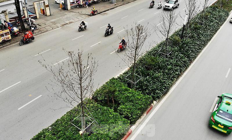 Cận cảnh hàng phong lá đỏ khô héo sắp bị thay thế ở Hà Nội Ảnh 4