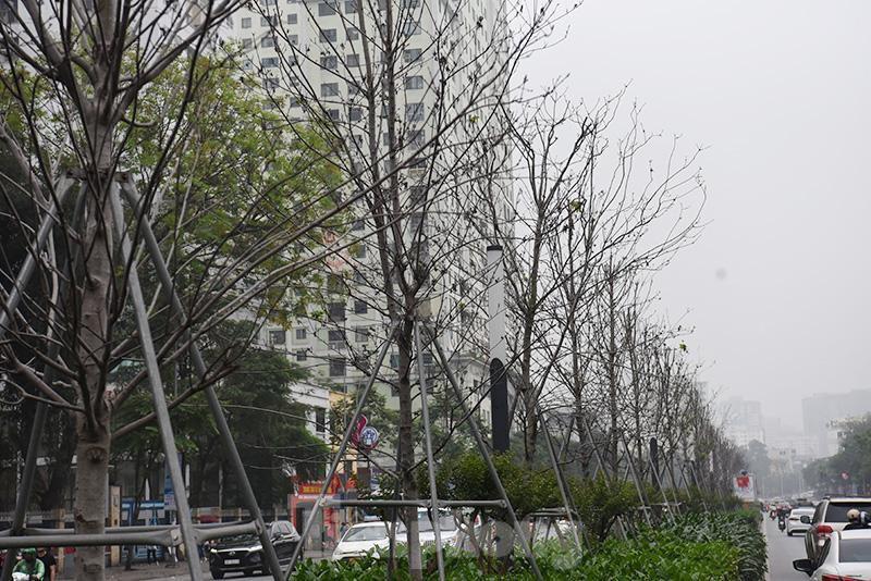 Cận cảnh hàng phong lá đỏ khô héo sắp bị thay thế ở Hà Nội Ảnh 8