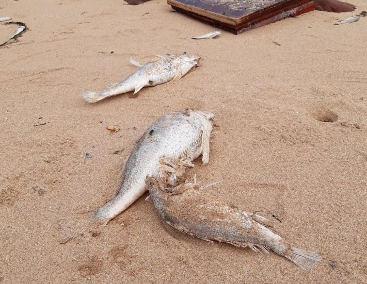 Cá chết bất thường dạt vào bãi biển ở Nghệ An chưa rõ nguyên nhân Ảnh 1