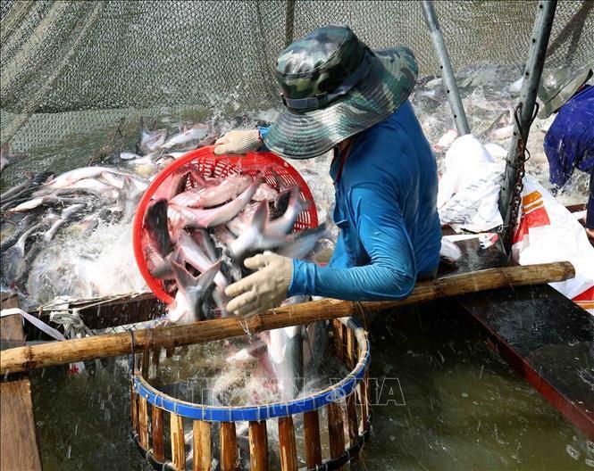 Giá cá tra nguyên liệu tăng Ảnh 1