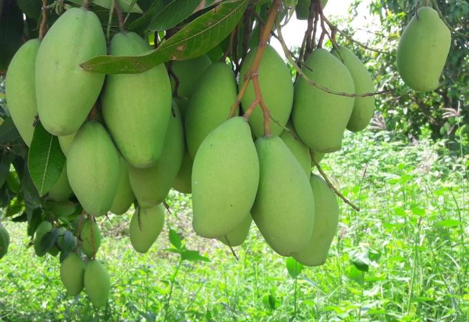 Xoài Campuchia được xuất khẩu sang Trung Quốc Ảnh 1