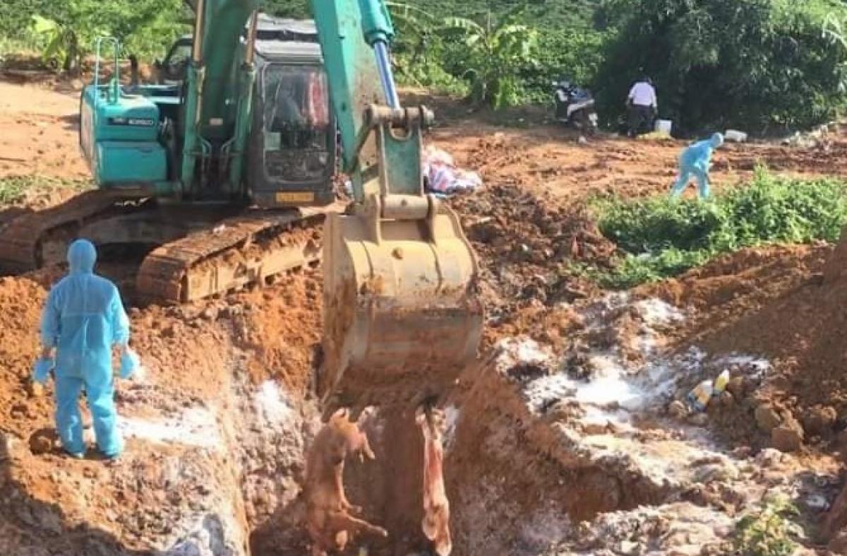 Bùng phát ổ dịch tả lợn Châu Phi ở xã biên giới tỉnh Kon Tum Ảnh 1