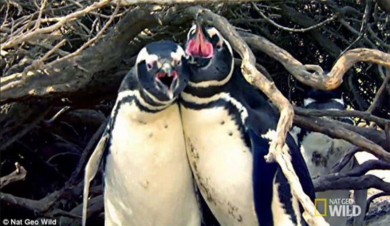 Bị 'cắm sừng', chim cánh cụt quyết sống chết với tình địch Ảnh 1