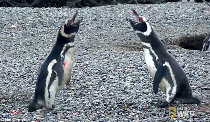Bị 'cắm sừng', chim cánh cụt quyết sống chết với tình địch Ảnh 3