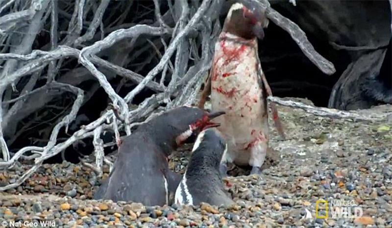 Bị 'cắm sừng', chim cánh cụt quyết sống chết với tình địch Ảnh 7