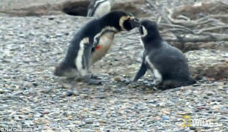 Bị 'cắm sừng', chim cánh cụt quyết sống chết với tình địch Ảnh 2