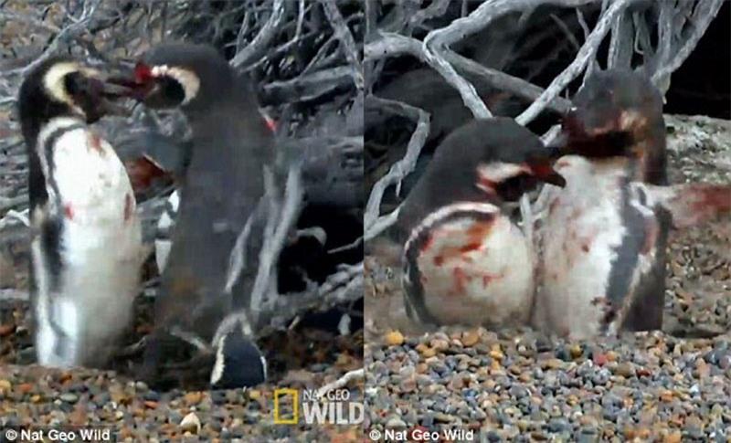 Bị 'cắm sừng', chim cánh cụt quyết sống chết với tình địch Ảnh 5