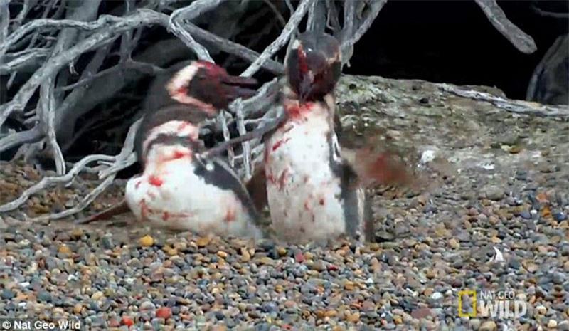 Bị 'cắm sừng', chim cánh cụt quyết sống chết với tình địch Ảnh 6