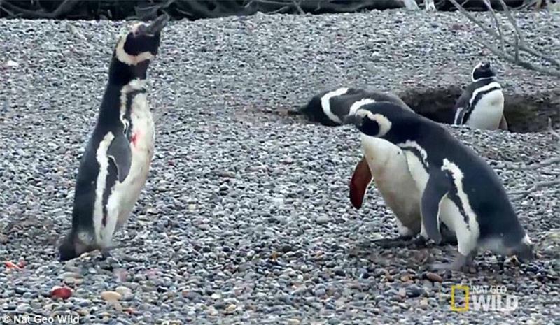 Bị 'cắm sừng', chim cánh cụt quyết sống chết với tình địch Ảnh 8