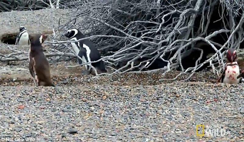 Bị 'cắm sừng', chim cánh cụt quyết sống chết với tình địch Ảnh 9