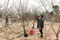 Bộ NN&PTNT: Người dân tự quyết việc khai thác đào ngoài diện tích rừng