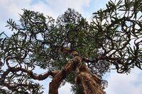 Ngắm cây tùng thế cực 'khủng' khiến dân chơi cây cảnh mê mệt