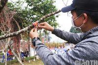 Dạo phố Hà Nội ngắm đào Sơn La dán tem xuất xứ 'cập bến' chợ Tết