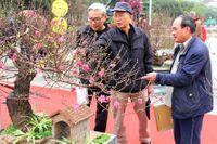 Hoa đào Nhật Tân rực rỡ khoe sắc trong hội Xuân