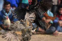 Gà chọi vô tình làm chết chủ ở Ấn Độ