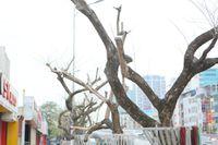 Số phận 7 cây sưa 'bạc tỷ' chết khô trên đường Nguyễn Văn Huyên ra sao?