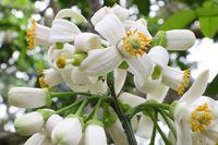 Yên Bái: Đại Minh ngạt ngào hương bưởi tháng 3…