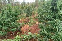 Sơn La: Củng cố hồ sơ xử lý trường hợp trồng trái phép cây cần sa