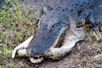 Cá sấu mõm ngắn 'xơi tái' trăn khổng lồ