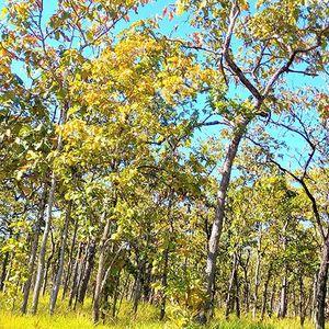 Mê hoặc rừng khộp mùa thay lá