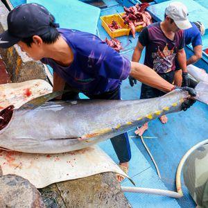 Ngư dân miền Trung trúng đậm cá ngừ đại dương