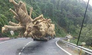 Có hay không chuyện CSGT 'bảo kê' ba xe chở cây cổ thụ 'khủng'?
