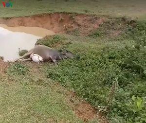 Sét đánh chết đàn trâu 9 con của một gia đình ở Lạng Sơn