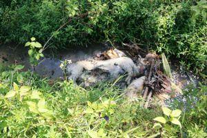 Quảng Nam: Xác heo chết nổi trên kênh