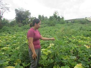 Đắk Lắk: Trồng phải bí 'siêu lá', HTX 'bắt đền' Công ty Hai Mũi Tên Đỏ