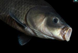 Phát hiện cá trâu 112 tuổi, sinh ra từ trước thời điểm thế chiến I bùng nổ