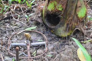 Vĩnh Long: Xuất hiện sinh vật lạ cắn phá dừa