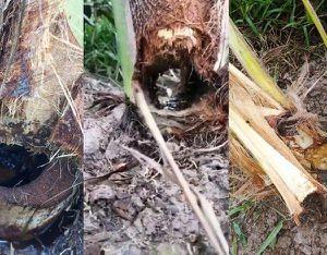'Con vật lạ' cắn phá vườn dừa, nông dân bày kế đặt bẫy truy tìm tung tích