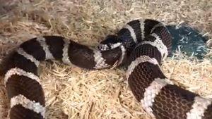 Kinh hãi cảnh rắn ăn ngấu nghiến đuôi của mình vì quá đói