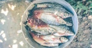 Hóa chất biến cá ở Malaysia thành 'đồng tính'