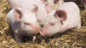 '3 năm nữa có thể ghép tim lợn cho người', chuyên gia ghép tạng Việt Nam nói gì?