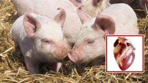Dùng tim lợn cấy ghép cho người, chuyên gia Việt Nam nói gì?