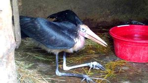 Phát hiện cá thể chim nghi là chim Già Đẫy quý hiếm