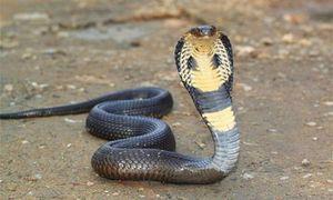 Tiết lộ 'sốc' những loài rắn độc ở Việt Nam